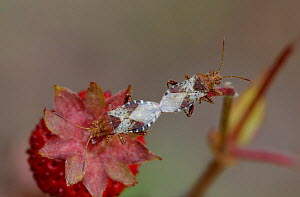 Bugs mating (Rhopalus subrufus) on strawberry, Mercantour National Park, Provence, France, June.  -  Robert  Thompson