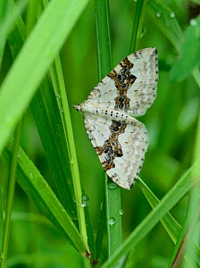 Silver-ground Carpet moth (Xanthorhoe montanata) Mercantour National Park, Provence, France, June.  -  Robert  Thompson