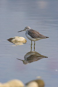 Common greenshank (Tringa nebularia) reflected in water, Mianyang City, Sichuan Province, China. - Dong Lei