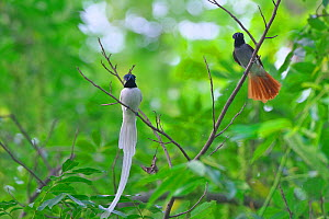 Asian paradise-flycatcher (Terpsiphone paradisi) pair perched on branch, Shanyang town, Gutian County, Hubei province, China. - Dong Lei