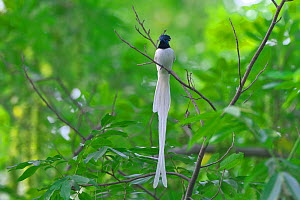 Asian paradise-flycatcher (Terpsiphone paradisi) male perched, Shanyang town, Gutian County, Hubei province, China.  -  Dong Lei