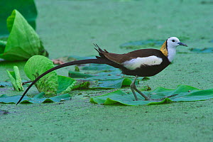 Pheasant-tailed Jacana (Hydrophasianus chirurgus) Chengdu City, Sichuan Province, China. - Dong Lei