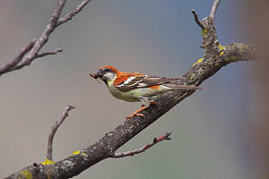 Russet sparrow (Passer rutilans) feeding on insect, Lantsang Mekong river, Kawakarpo Mountain, Meri Snow Mountain National Park, Yunnan Province, China.  -  Dong Lei