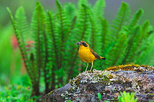Golden bush-robin (Tarsiger chrysaeus) with insect prey, Kawakarpo Mountain, Meri Snow Mountain National Park, Yunnan Province, China. - Dong Lei