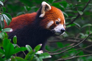 Red Panda (Ailurus fulgens) portrait, Wolong National Nature Reserve, Wenchuan County, Sichuan Province, China.  -  Dong Lei
