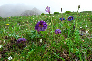 Blue poppy (Meconopsis lyrata) Kawakarpo Mountain, Meri Snow Mountain National Park, Yunnan Province, China.  -  Dong Lei