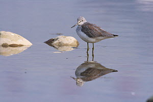 Common greenshank (Tringa nebularia) standing in water, Mianyang City, Sichuan Province, China. - Dong Lei