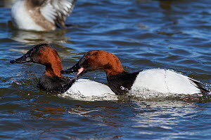 Canvasback duck (Aythya valisimeria) drakes, bird on right showing aggression toward other drake, wintering on Choptank River, Eastern Shore of Chesapeake Bay, Maryland, USA  -  Lynn M Stone