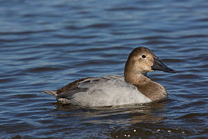 Canvasback duck (Aythya valisimeria) hen wintering on Choptank River, Eastern Shore of Chesapeake Bay, Maryland, USA  -  Lynn M Stone