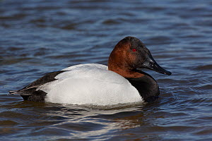 Canvasback duck (Aythya valisimeria) drake wintering on Choptank River, Eastern Shore of Chesapeake Bay, Maryland, USA  -  Lynn M Stone