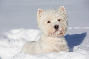 West Highland Terrier in snow, Vernon, Connecticut, USA  -  Lynn M Stone