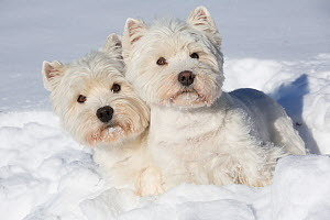 West Highland Terriers in snow, Vernon, Connecticut, USA - Lynn M Stone