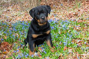 Rottweiler pup in blue flowers, Waterford, Connecticut, USA  -  Lynn M Stone