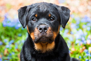 Rottweiler puppy portrait with blue flowers, Waterford, Connecticut, USA  -  Lynn M Stone