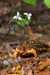 Eastern box turtle (Terrapene carolina carolina)  in pine forest, by Painted Trillium flower, Connecticut, USA  -  Lynn M Stone