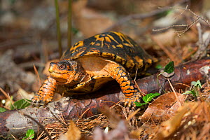 Eastern box turtle (Terrapene carolina carolina) Connecticut, USA  -  Lynn M Stone