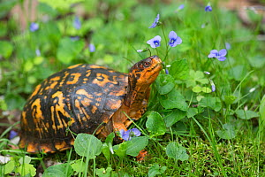 Eastern box turtle (Terrapene carolina carolina) among blue violets  woodland, Connecticut, USA  -  Lynn M Stone