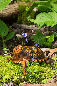 Eastern box turtle (Terrapene carolina carolina) on sphagnum moss, among Blue Violets, Connecticut, USA  -  Lynn M Stone