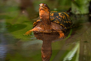 Eastern box turtle (Terrapene carolina carolina) in woodland pool, Connecticut, USA  -  Lynn M Stone