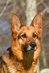 German Shepherd Dog portrait, Canterbury, Connecticut, USA.  -  Lynn M Stone
