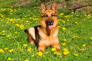 German Shepherd Dog resting in dandelions, Canterbury, Connecticut, USA  -  Lynn M Stone