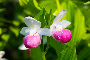 Showy lady's-slipper (Cypripedium reginae)  Tamarack bog, Hartland, Vermont, USA  -  Lynn M Stone