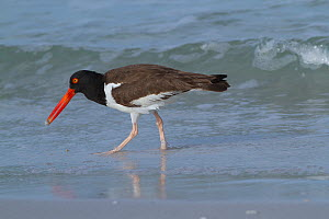 American oystercatcher (haematopus palliatus) foraging with Mole Crab plucked from sand, St. Petersburg, Florida, USA  -  Lynn M Stone