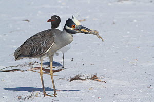 Yellow-crowned night heron (Nyctanassa violacea) with Ghost Crab on beach dune along Tampa Bay, Gulf of Mexico, St. Petersburg, Florida, USA  -  Lynn M Stone
