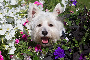 West Highland Terrier male in flowers, Canterbury, Connecticut, USA - Lynn M Stone