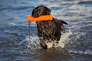 Labrador Retriever retrieving toy from sea, Guilford, Connecticut, USA - Lynn M Stone