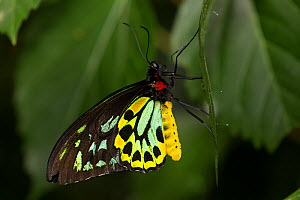 Cairn's birdwing butterfly (Ornithoptera priamus) male, captive, endemic to northern Australia. - Lynn M Stone