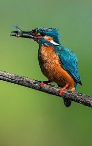Male Kingfisher (Alcedo atthis) with a fish in its beak. Guerreiro, Castro Verde, Alentejo, Portugal, May.  -  Roger Powell