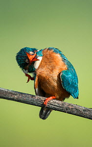 Male Kingfisher (Alcedo atthis) with its beak open and scratching its head. Guerreiro, Castro Verde, Alentejo, Portugal, May.  -  Roger Powell