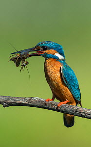 Male Kingfisher (Alcedo atthis) perched on branch with young Crayfish in its beak. Guerreiro, Castro Verde, Alentejo, Portugal, May.  -  Roger Powell