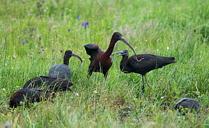 Glossy ibis (Plegadis falcinellus) group feeding. One adult bird catching a large worm. Rolao, Castro Verde, Alentejo, Portugal, May. - Roger Powell
