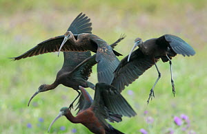 Glossy ibis (Plegadis falcinellus) group of four landing to feed. Rolao, Castro Verde, Alentejo, Portugal, May. - Roger Powell