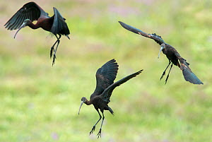 Glossy ibis (Plegadis falcinellus) group of three landing to feed. Rolao, Castro Verde, Alentejo, Portugal, May. - Roger Powell