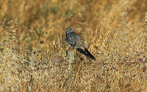 Male Montagu's harrier (Circus pygargus) resting on a fencepost in a field of oats. . Guerreiro, Castro Verde, Alentejo, Portugal, May.  -  Roger Powell