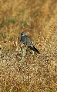 Male Montagu's harrier (Circus pygargus) resting on a fencepost in a field of oats. Guerreiro, Castro Verde, Alentejo, Portugal, May.  -  Roger Powell