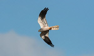 Male Montagu's harrier (Circus pygargus) flying overhead with a large lizard in its talons. Guerreiro, Castro Verde, Alentejo, Portugal, May.  -  Roger Powell