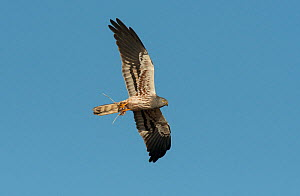 Male Montagu's harrier (Circus pygargus) flying overhead with a partridge chick in its talons. Guerreiro, Castro Verde, Alentejo, Portugal, May.  -  Roger Powell