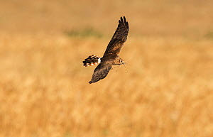 Female Montagu's harrier (Circus pygargus) flying in to nest site with nest material. Guerreiro, Castro Verde, Alentejo, Portugal, May.  -  Roger Powell
