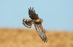 Female Montagu's harrier (Circus pygargus) returning to nest site with prey - a large green caterpillar. . Guerreiro, Castro Verde, Alentejo, Portugal, May.  -  Roger Powell