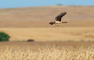 Female Montagu's harrier (Circus pygargus) flying to nest site with nest material. Guerreiro, Castro Verde, Alentejo, Portugal, May.  -  Roger Powell