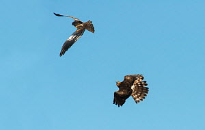 Pair of Montagu's harriers (Circus pygargus) displaying over their nesting territory, female calling excitedly to the male. . Guerreiro, Castro Verde, Alentejo, Portugal, May.  -  Roger Powell