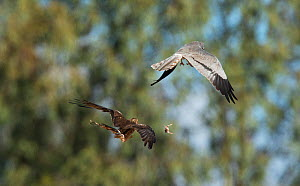 Male Montagu's harrier (Circus pygargus) with mate pursuing after the food pass of a Red-legged Partridge chick. Guerreiro, Castro Verde, Alentejo, Portugal, May.  -  Roger Powell