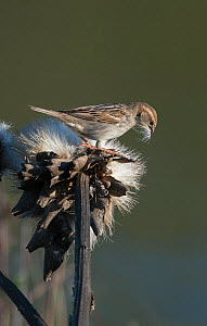 Female Spanish sparrow (Passer hispaniolensis) collecting thistle down for nesting material. Guerreiro, Castro Verde, Alentejo, Portugal, May.  -  Roger Powell