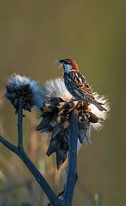 Male Spanish sparrow (Passer hispaniolensis) collecting thistle down for nesting material. Guerreiro, Castro Verde, Alentejo, Portugal, May.  -  Roger Powell
