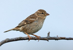 Female Spanish sparrow (Passer hispaniolensis) perched on a branch. Guerreiro, Castro Verde, Alentejo, Portugal, May.  -  Roger Powell