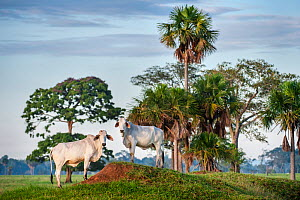 Zebu Cattle (Bos primigenius indicus), Los Llanos, Colombia, South America. - Nick Garbutt